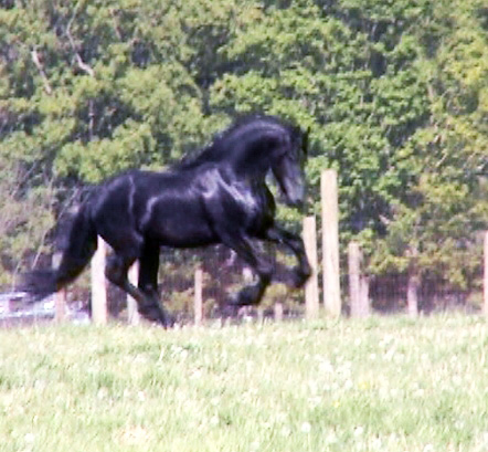 Gypsy Vanner Horses For Sale, Gypsy Drum Horses For Sale
